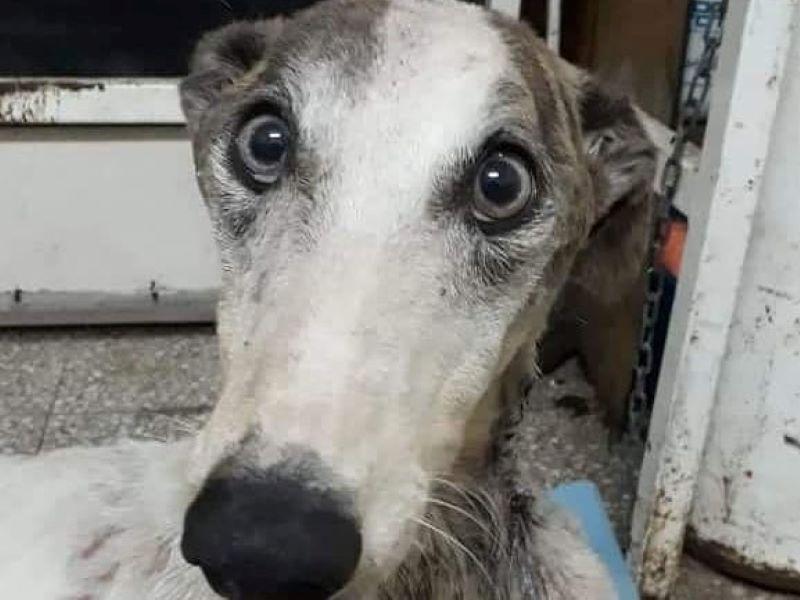 Un nuevo caso de maltrato animal se vio en Pergamino y otra vez la víctima fue un perro raza galgo.