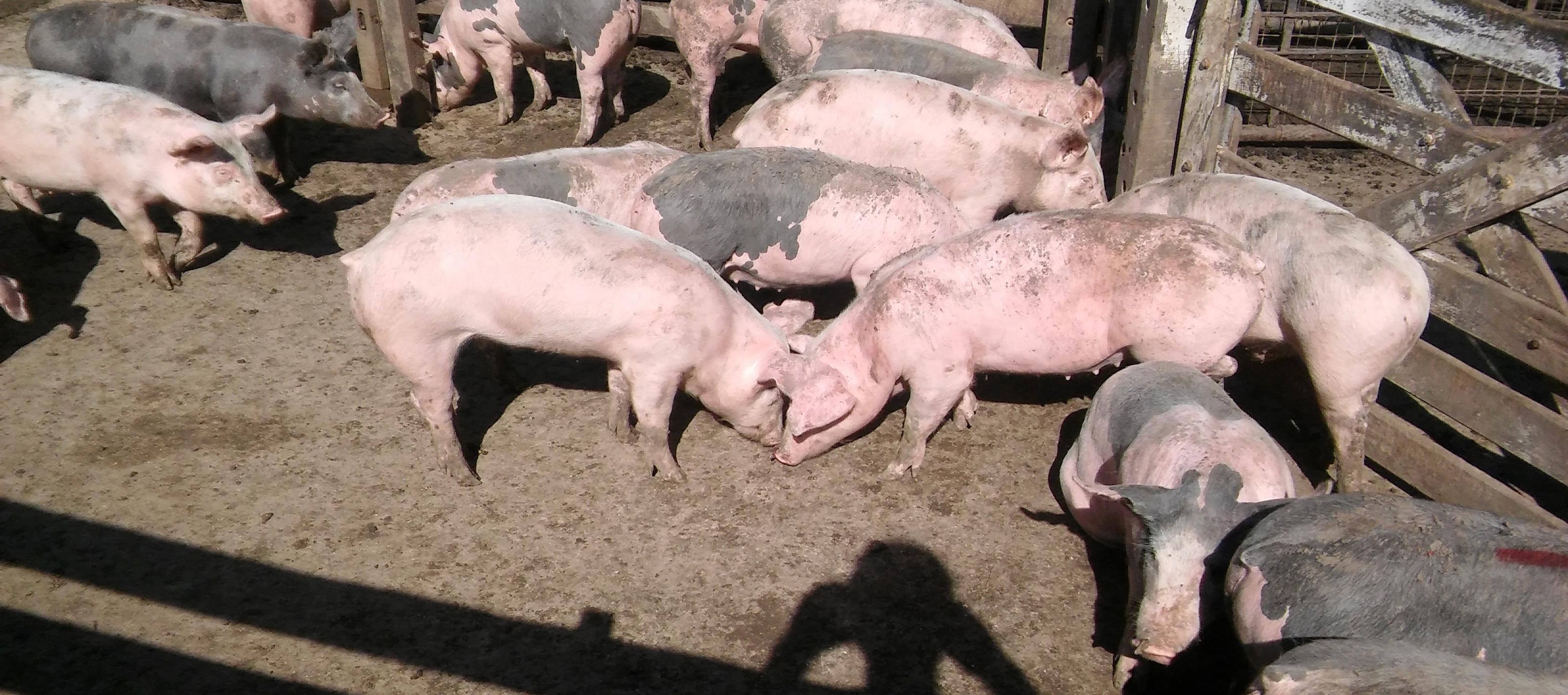 El viernes 23 de marzo de 2018 se llevará a cabo la 1º Jornada de Producción Porcina en la ciudad. La misma tendrá lugar a las 8.30hs. en las instalaciones de INTA Pergamino, ubicadas en Avenida Frondizi kilómetro 4,5.