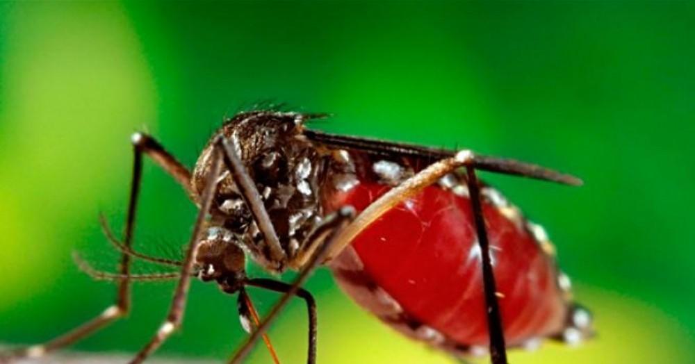 El mosquito vector.