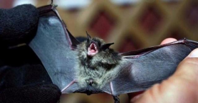 Murciélago con rabia en nuestra ciudad